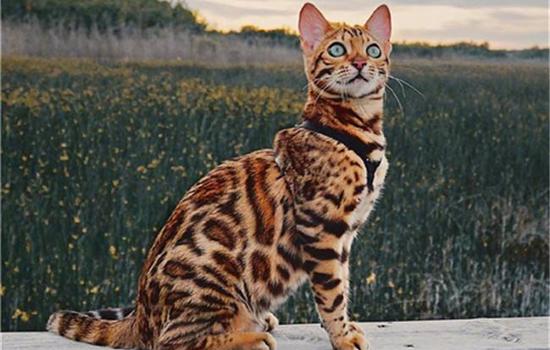 亚洲豹猫是猫还是豹 多数人都不知道-轻博客