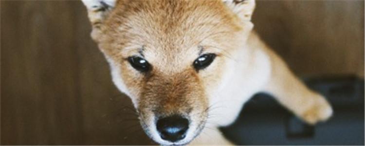 狗狗得钩虫病的症状 钩虫病会导致狗狗昏迷死亡