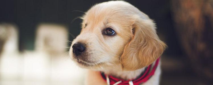 狗狗咳嗽是怎么回事 狗狗咳嗽要多注意呀!