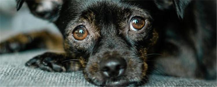 狗鼻子褪色是咋了 什么因素会导致鼻子褪色