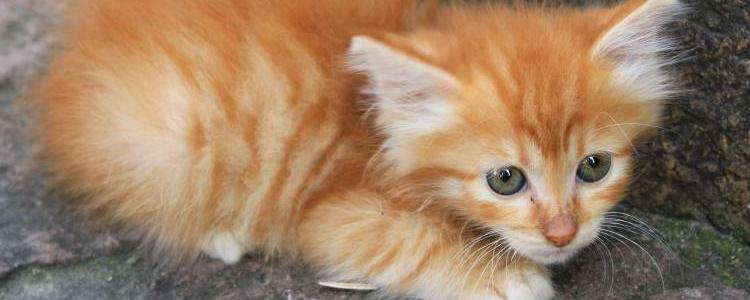 小猫身体发凉有救吗 小猫要注意补充营养和保暖措施!