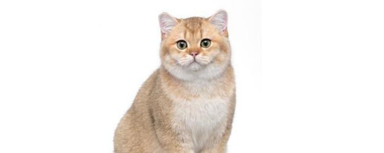 小猫脾气暴躁怎么调理 猫咪脾气暴躁需要感情的中和剂