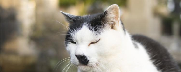 猫杯状病毒有什么特点 猫连打几天喷嚏就要注意了