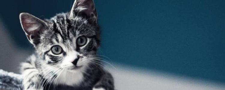 虎斑猫智商高吗 这种猫的智商还是比较高的!