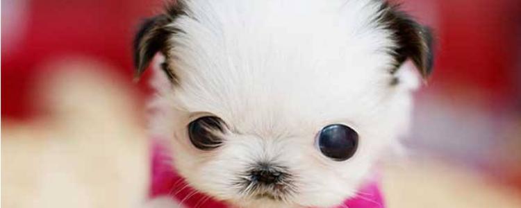 狗得眼睑炎用什么眼药水 细菌感染的问题真的不是小事!