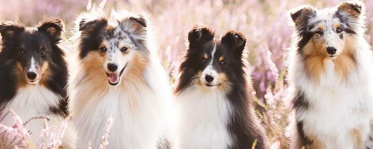 狗狗肾衰竭分几种 肾衰竭可以治疗吗