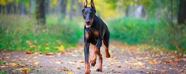 狗狗大便里有蛔虫吃什么药 如何防治狗狗蛔虫病