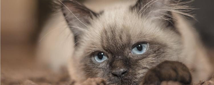 猫的爪子肉垫常见病 猫咪肉垫也会患皮肤病?