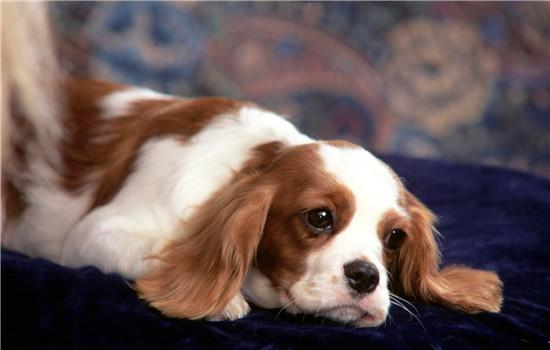 狗狗突然四肢无力瘫软 这四种情况非常严重了-轻博客