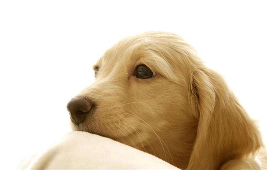 狗狗几岁发情 正常狗狗8个月就会发情哦!插图
