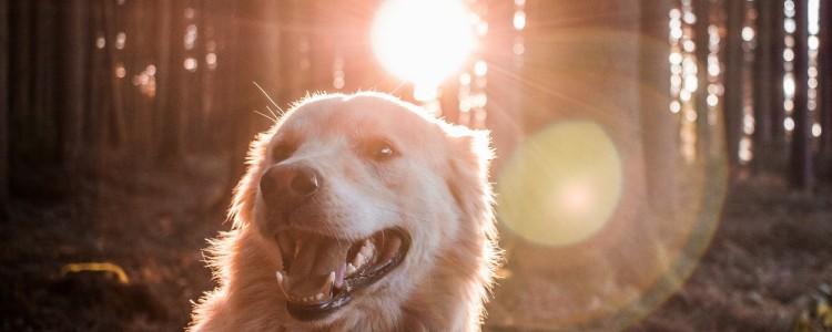 狗狗眼眶周围红肿 狗狗过敏要注意了!