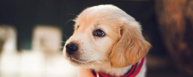 金毛怀孕症状 你家狗狗怀孕了你知道吗?