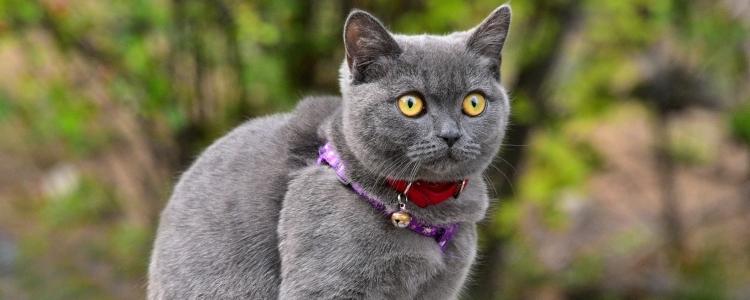 银渐层配蓝猫算串吗 是什么样子的?