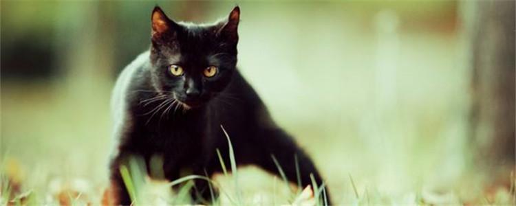 孟买猫认主人吗 不能以外表来判断猫咪的内心