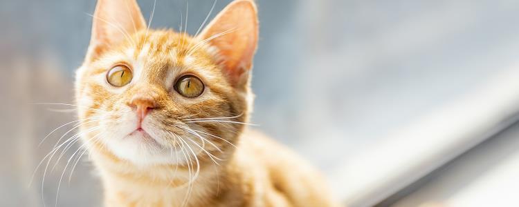 猫咪嗓子哑了叫不出声 要注意多观察猫咪哦