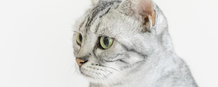 猫多少度会中暑 猫中暑了该怎么办?