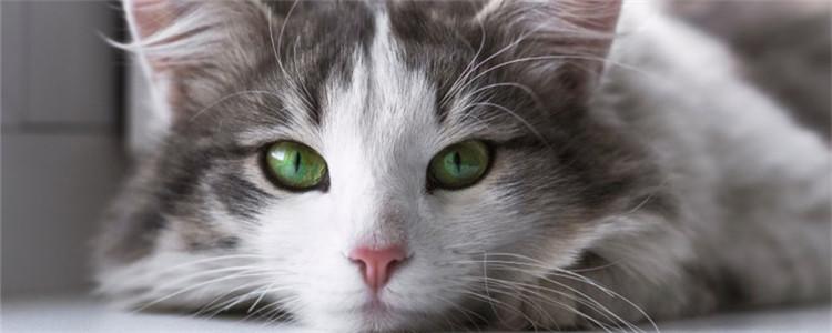 猫咪产后很瘦怎么养 猫咪为什么会变那么瘦