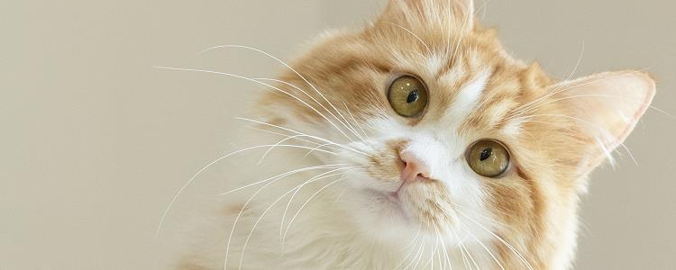 猫毛球症晚期 还不赶紧带猫咪去医院!
