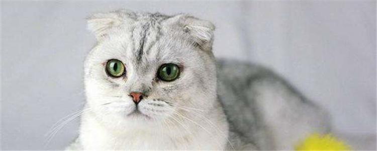 折耳猫毛色怎么区分 折耳猫的毛色有很多种