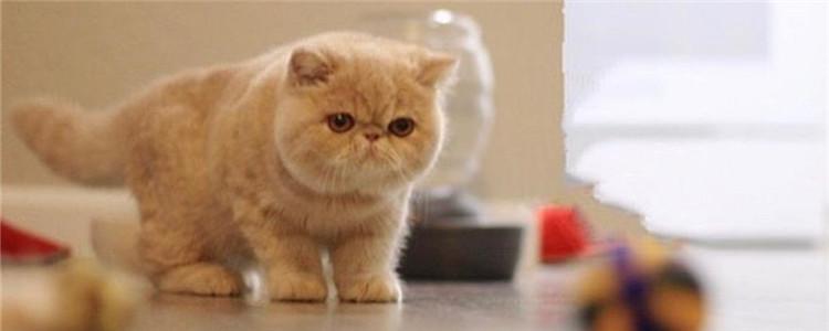 加菲猫便有点血怎么回事 定期驱虫不容忽视