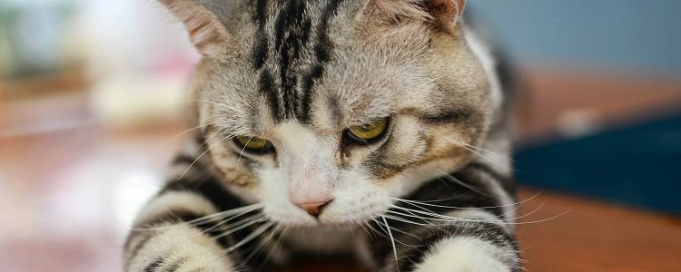 猫疫苗有哪些 核心疫苗是必须注射哦!