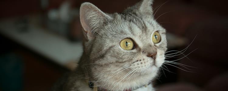 猫眉毛上面秃了 一般属于正常现象哦!