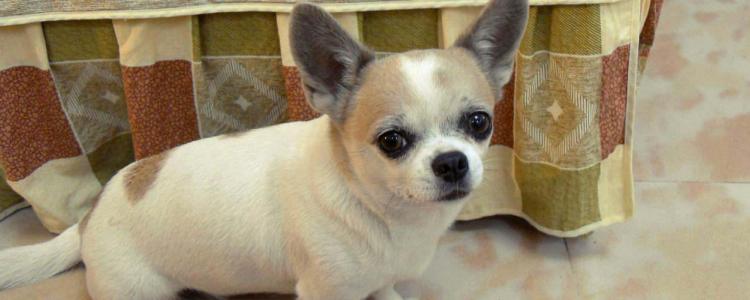 吉娃娃狗发情怎么看 可以正确判断吉娃娃的发情阶段吗