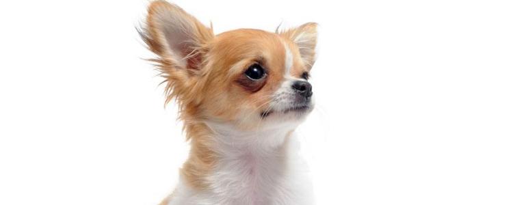 狗狗过敏的物质有哪些? 如何应对犬过敏?