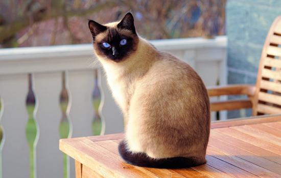暹罗猫优点和缺点 据说极其依赖主人不像猫