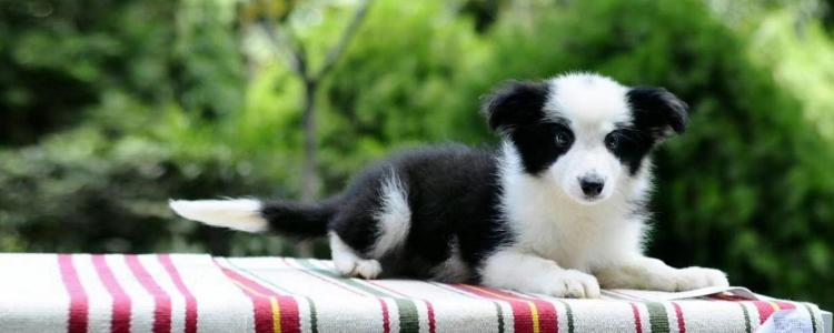 狗隔几个月又可以怀孕 时间需要进行精准的把握
