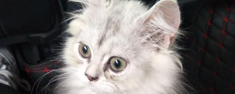 猫皮肤病一直掉毛怎么办 这就是猫藓导致掉毛的