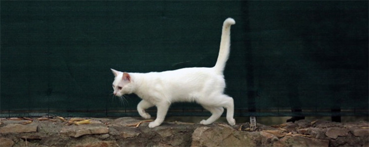 秋天是猫的发情期吗 猫发情是正常的生理现象