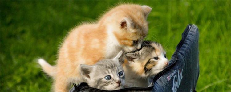 四个月的小猫怎么分辨公母 看屁股是最好的方法