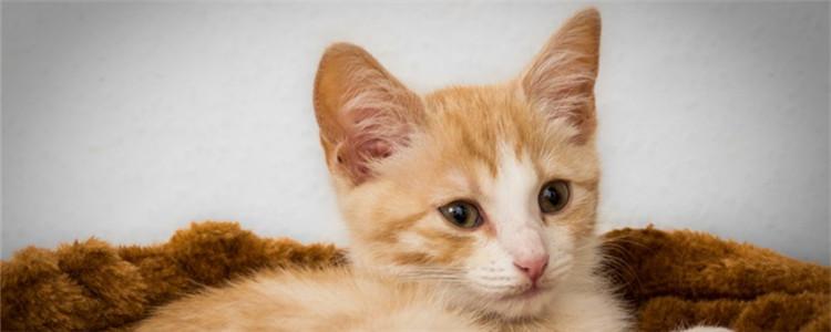 三个月的小猫可以吃蛋黄吗 该怎么给小猫喂食蛋黄