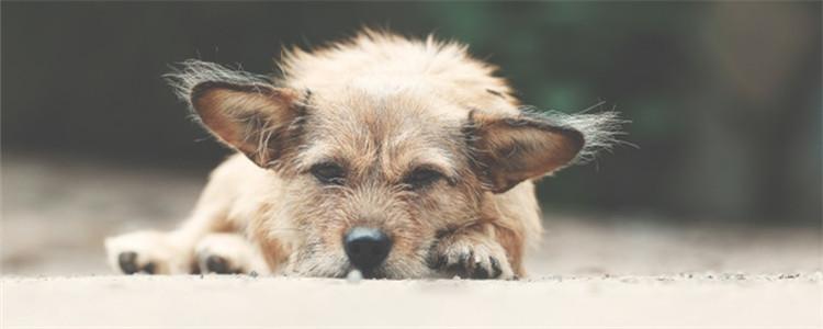狗被咬伤了怎么处理 最好带狗狗去医院进行处理