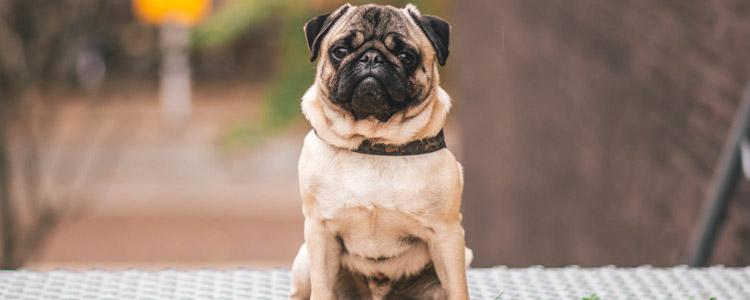 狗狗咳嗽是感冒了吗 狗狗咳嗽的不同症状你知道吗?