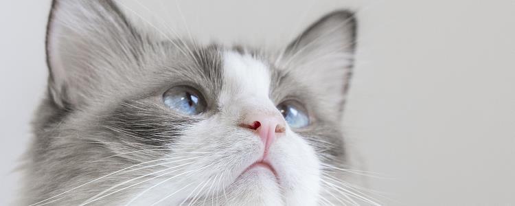 猫眼睛红肿睁不开 一定要去医院做专业的检查哦