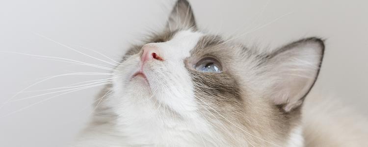 猫配种要一起待多少天 看完你就懂了!