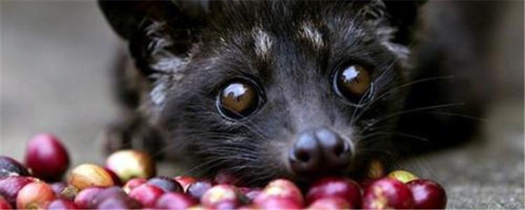 猫屎咖啡收集自哪种猫 猫屎咖啡是真的猫屎吗-轻博客