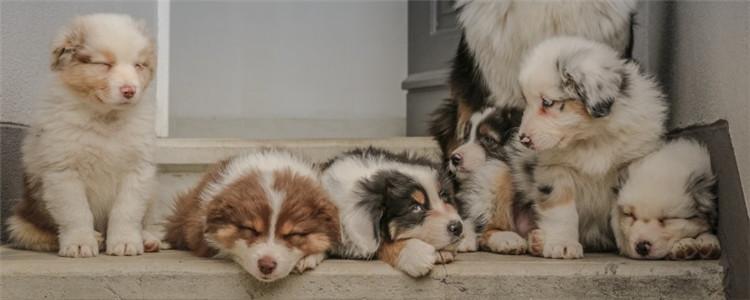 狗怀孕50天小狗成型没 狗怀孕多久后会生产