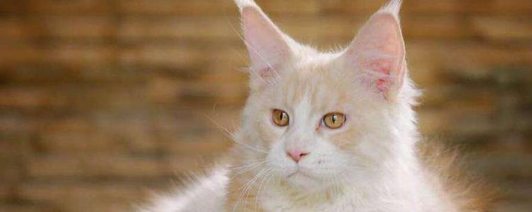 缅因猫幼猫最明显特征 看完就懂了!