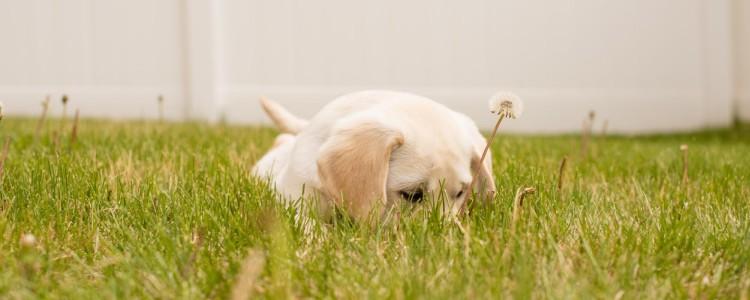 老狗肾衰竭多久会死 急性和慢性要懂得区分哦!