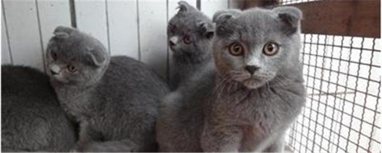 英短有折耳是不是不纯 耳朵折起来的猫都叫折耳猫吗?