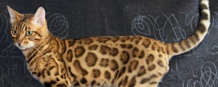 怎样区分豹猫和狸猫 看外表的花纹就知道了
