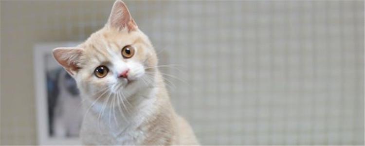 猫咪格里斯是什么品种 乳白英短的特征是什么-轻博客