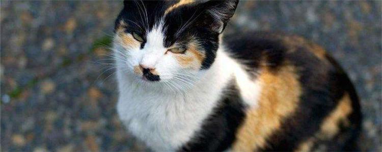 玳瑁猫是招财猫吗 招财猫举的手代表什么意思