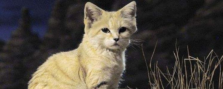 小猫鼻头上的毛秃了 可能是毛囊炎!