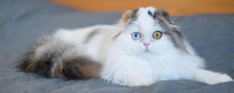 高地长毛猫是什么意思 高地长毛猫是新品种吗