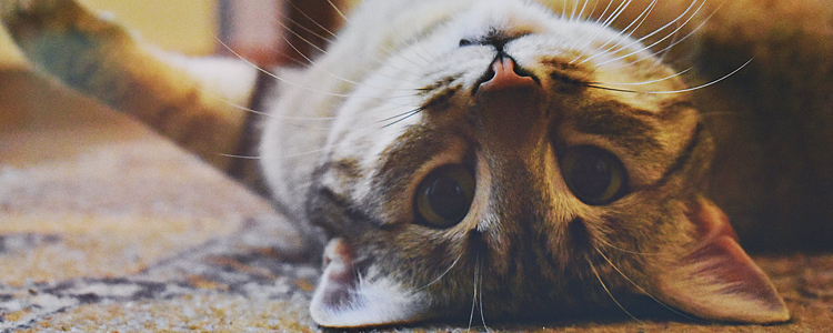 乳果糖猫咪吃了死了 不是医生就别再乱给猫喂药了!