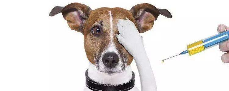 如何预防犬细小病毒 按时注射疫苗是关键!